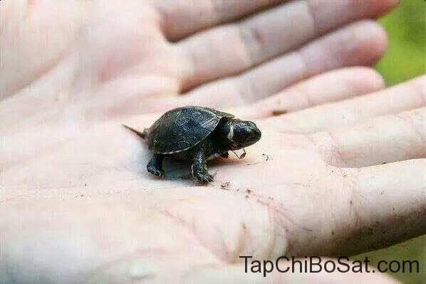 """Image result for bog turtle"""""""