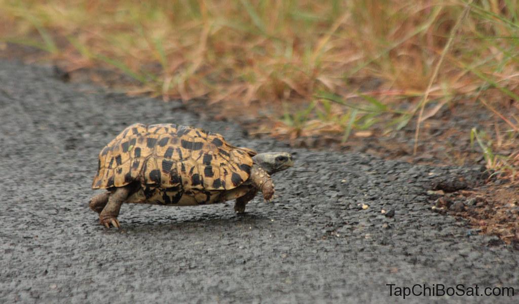 """Rùa mai gập- bell's hingeback tortoise"""""""
