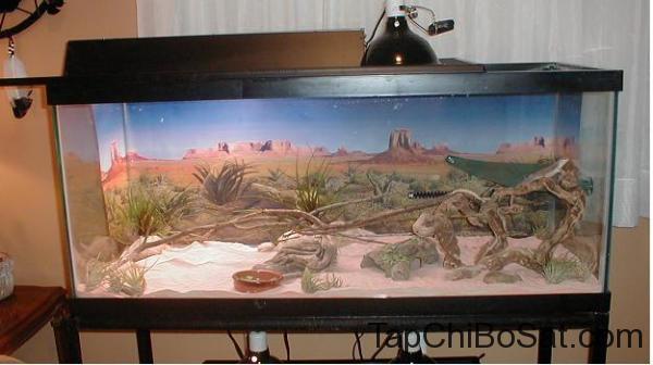 Bể nuôi Kỳ nhông sa mạc