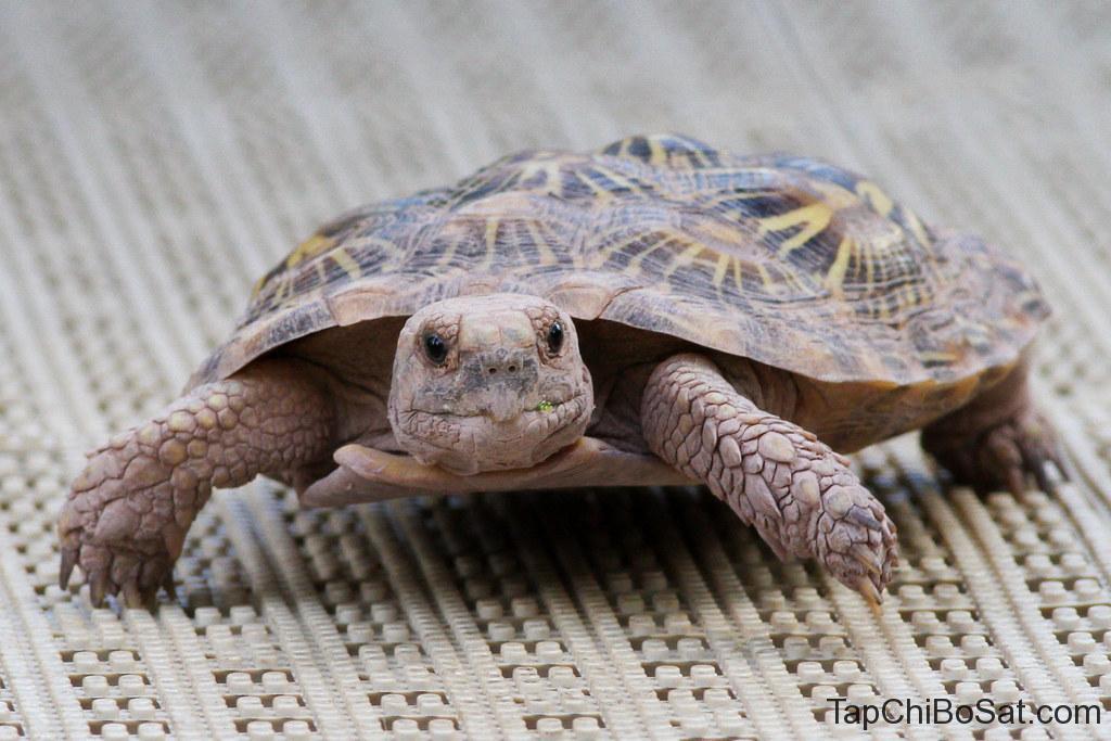"""Image result for pancake tortoise"""""""