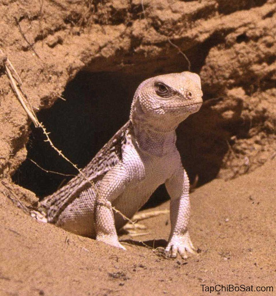 kỳ nhông sa mạc- desert iguana