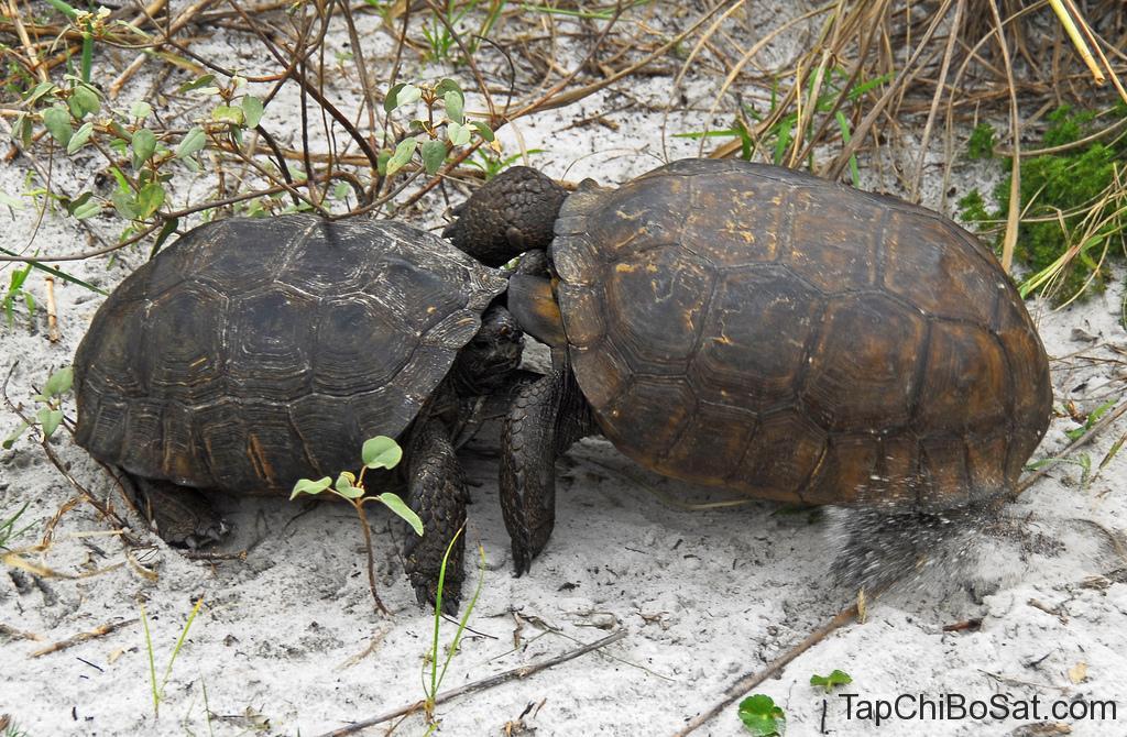Rùa Đất Gopher- gopher tortoise