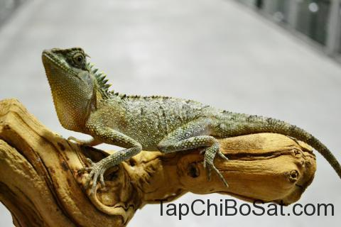 """Image result for mountain horned dragon"""""""