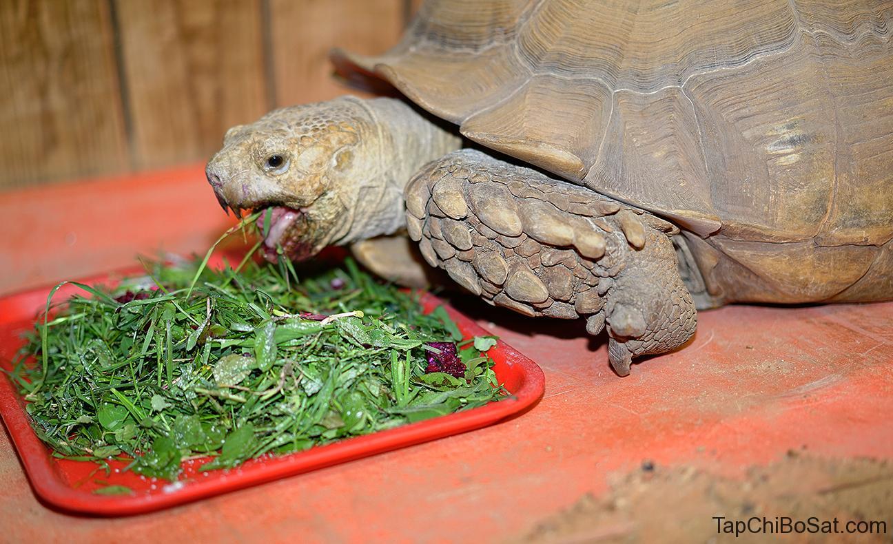 Rùa cựa châu phi ăn thực vật