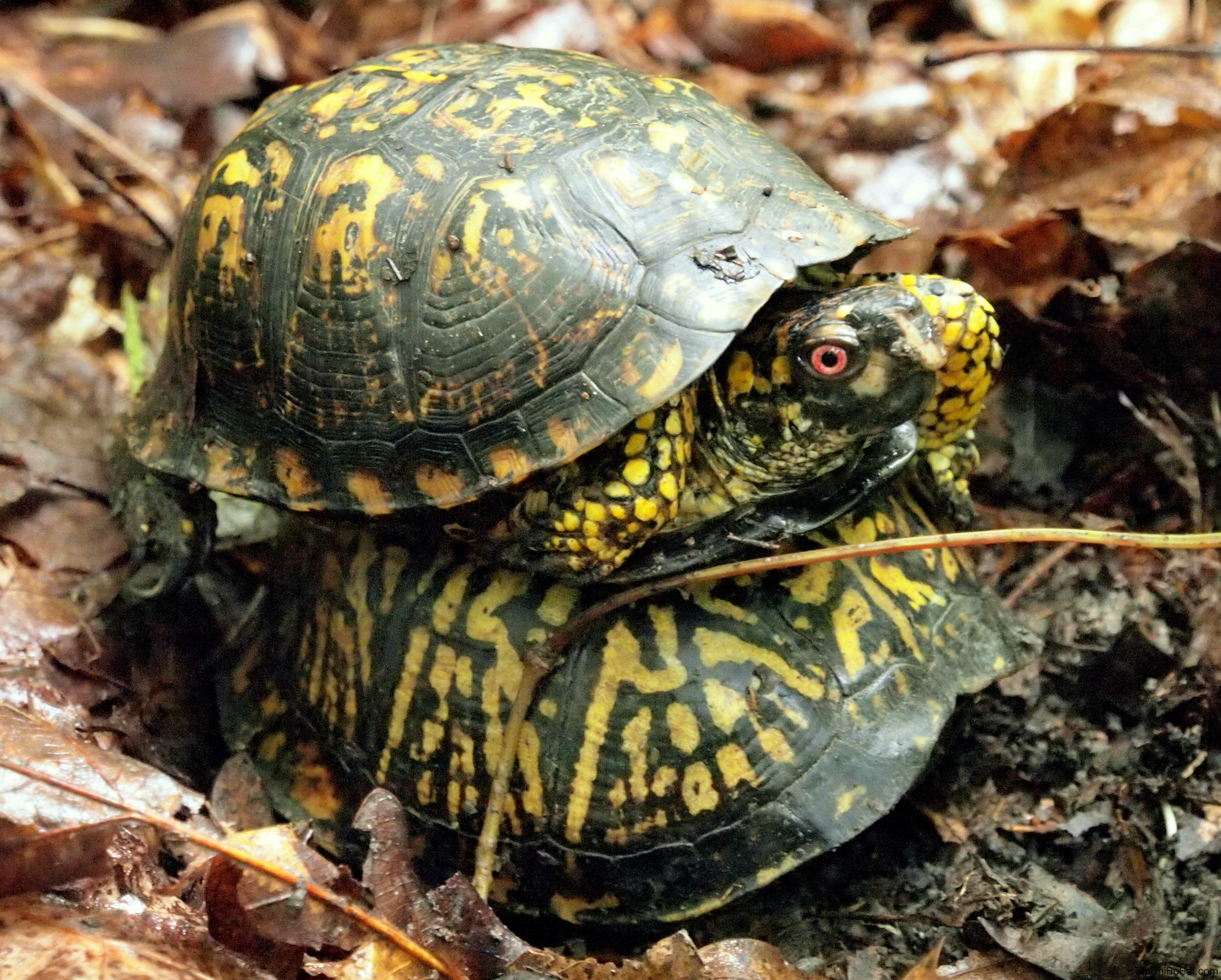 cặp đôi Rùa hộp miền đông- Eastern box turtle male and female