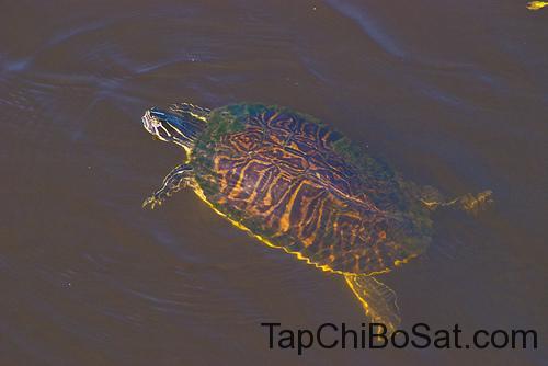 Rùa Hoa Florida - Florida Pond Cooter