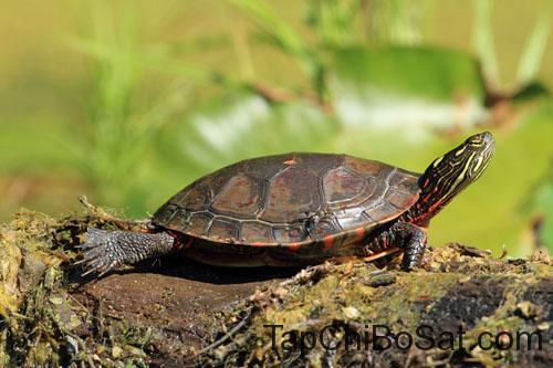 Rùa Vẽ Tây Mỹ- western painted turtle