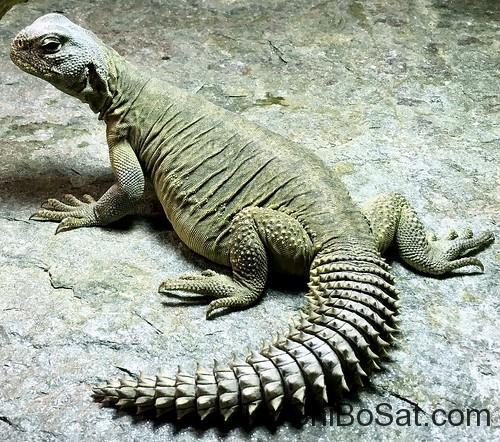 thằn lằn đuôi gai Ai Cập