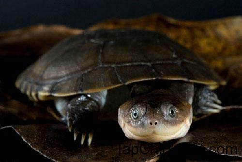 Rùa áo giáp châu Phi