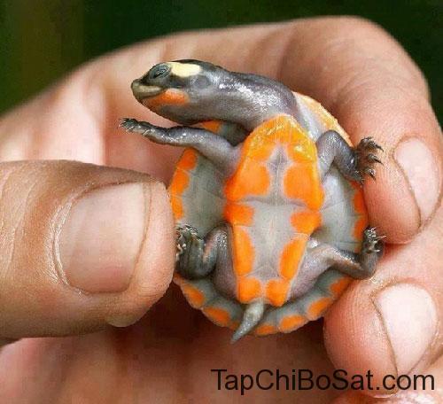 Rùa cổ ngắn bụng đỏ