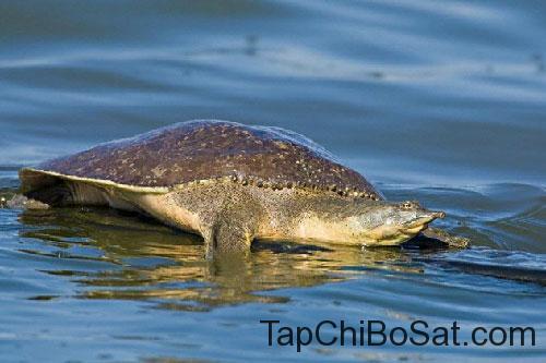 Rùa mai mềm gai