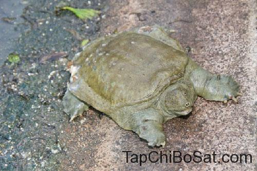 Rùa mai mềm Trung Quốc