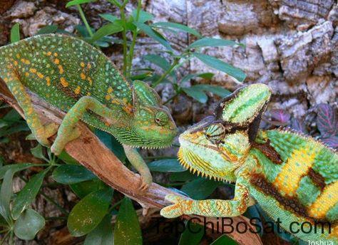 Tắc kè hoa Veied Chameleon đực và cái.
