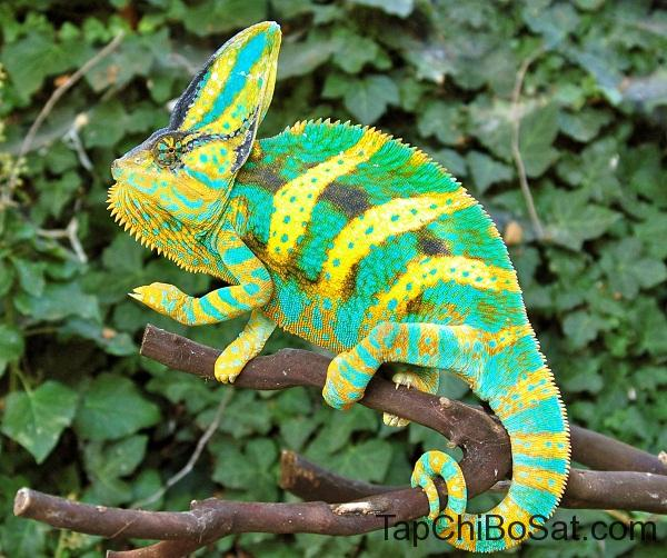"""Tắc kè hoa veiled chameleon"""""""