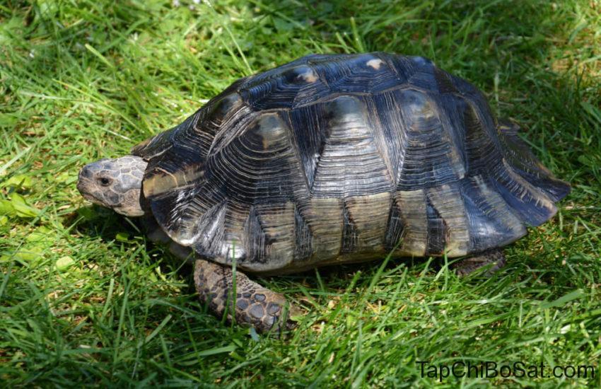 Rùa Marginated- marginated tortoise