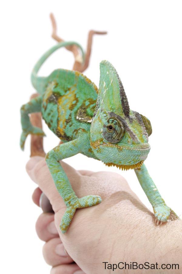 Tắc kè hoa veiled chameleon baby