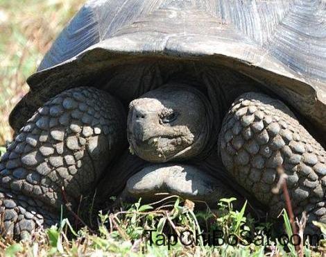 """Image result for aldabra giant tortoise"""""""