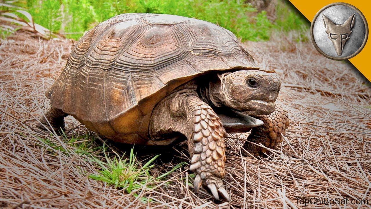 "Image result for gopher tortoise"""