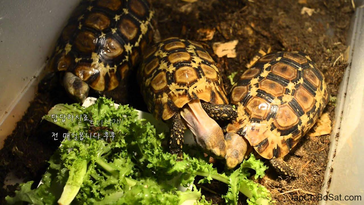 Rùa mai gập Bell- bell's hingeback tortoise baby