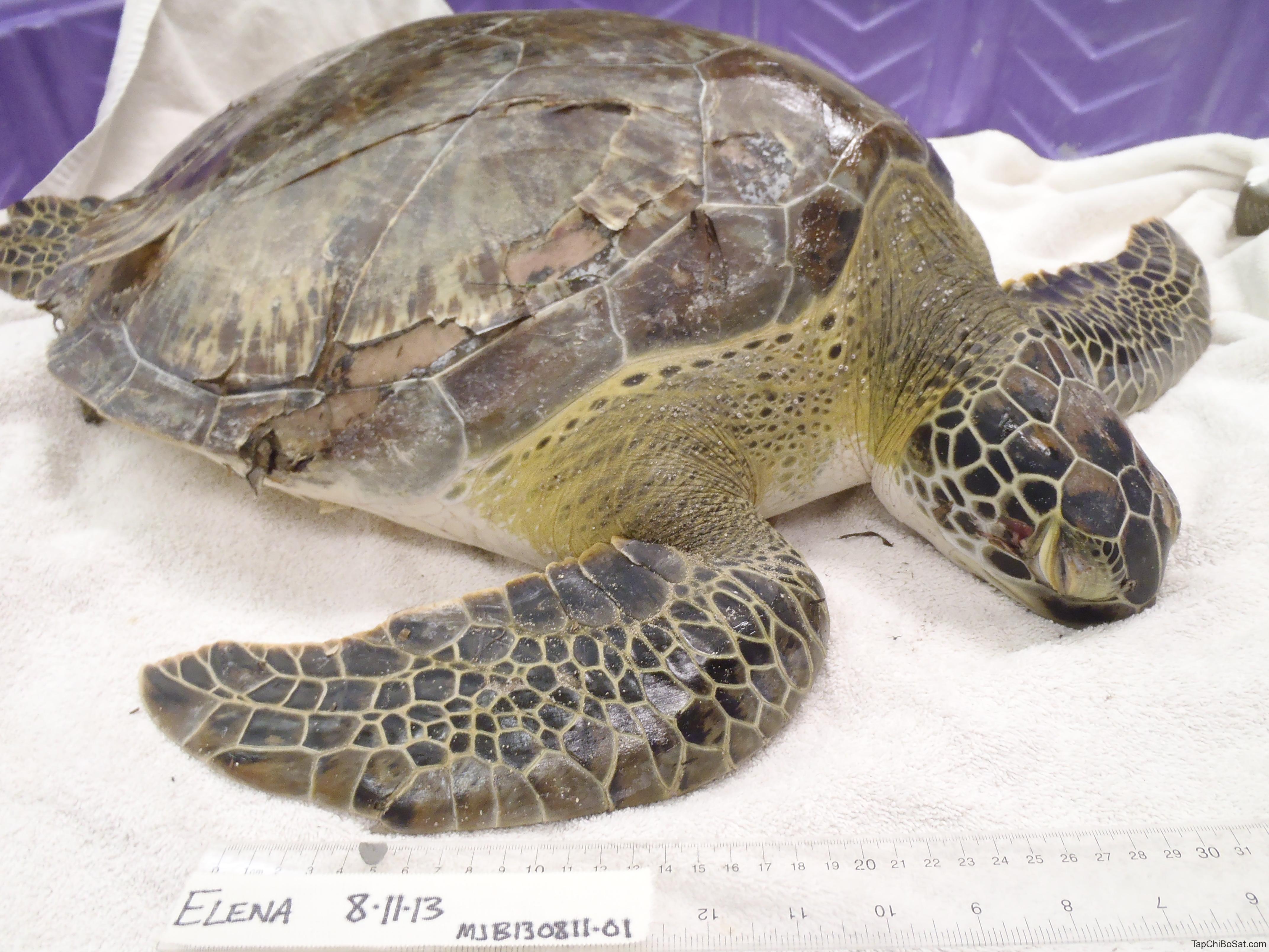bệnh loét vỏ ở rùa