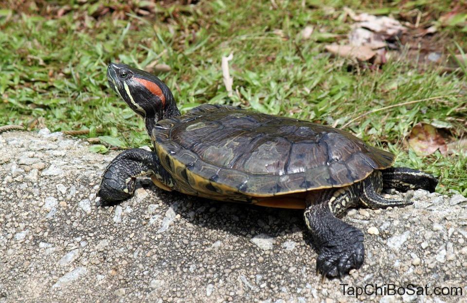 nuôi rùa đá làm cảnh