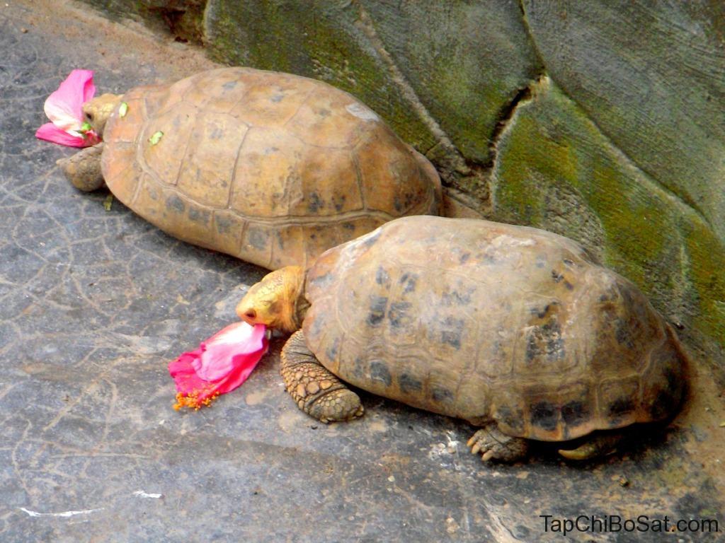 Rùa Mai Vàng có kích thước trung bình