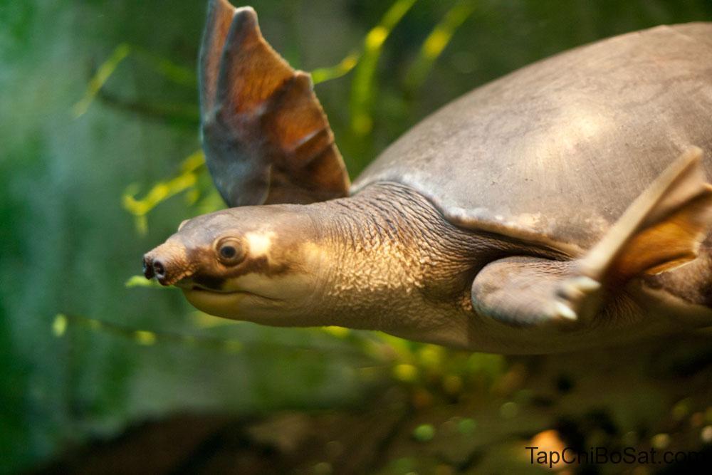 rùa mũi lợn  bay hay bơi