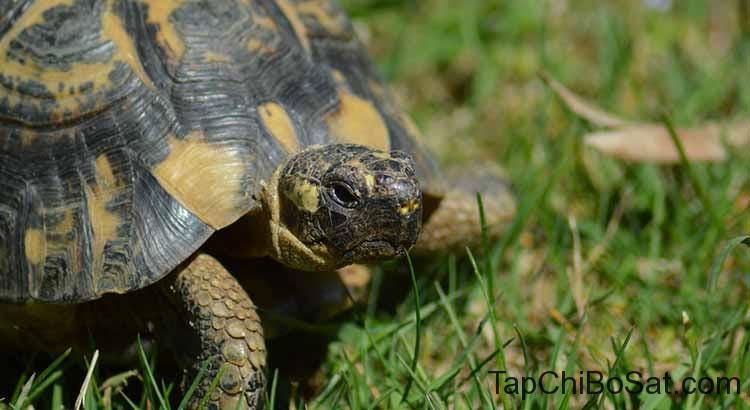 Rùa Hy Lạp- Greek Tortoise