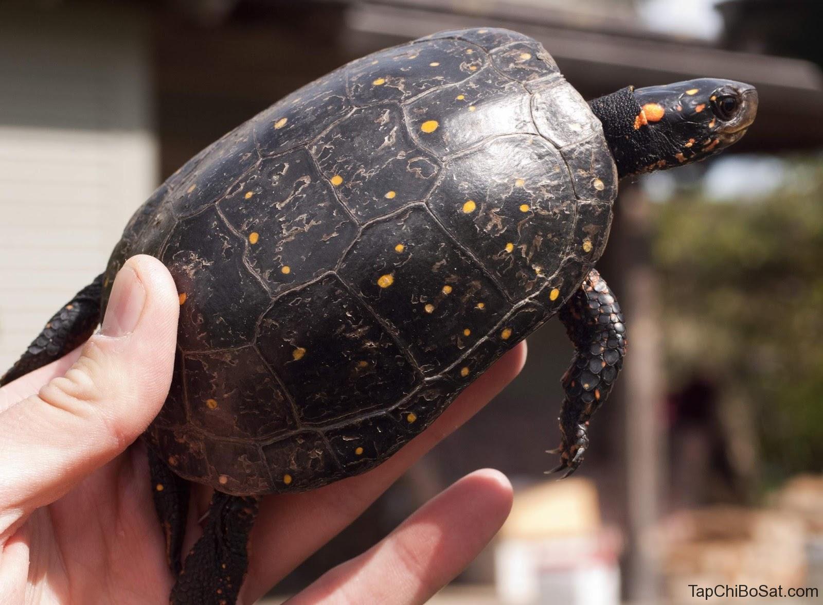Rùa Đốm (rùa Spotted)