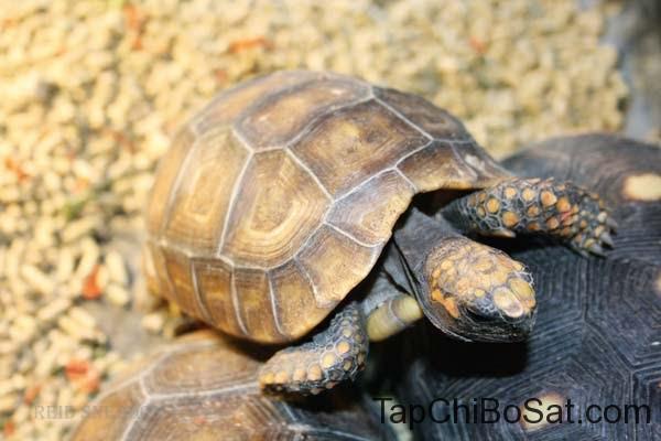 Rùa chân vàng