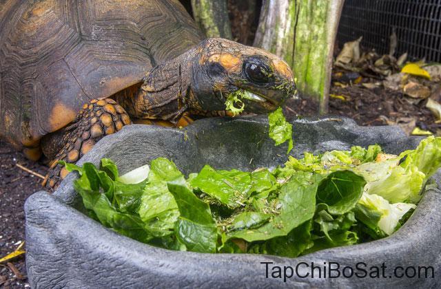 Thức ăn của Rùa chân vàng Yellow-footed tortoise