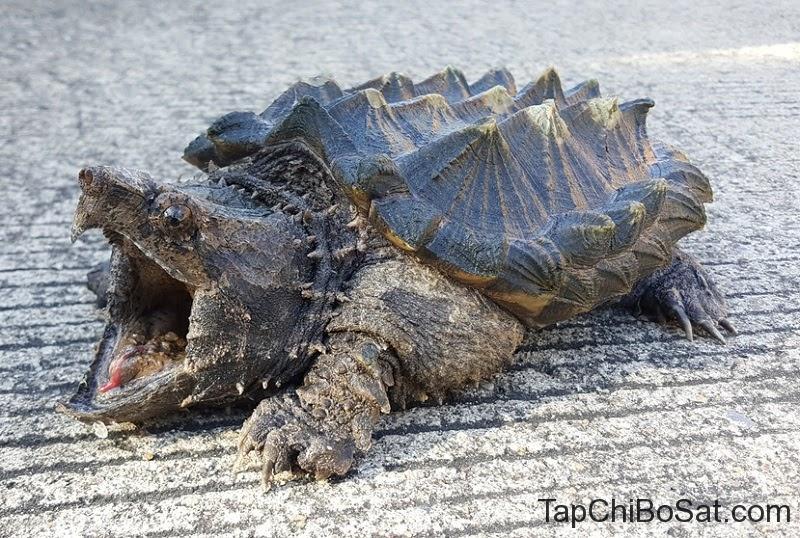 Rùa Cá Sấu- Alligator Snapping Turtle