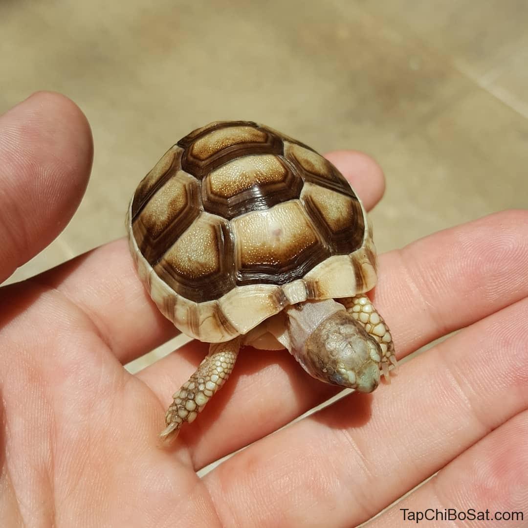 Rùa Marginated baby