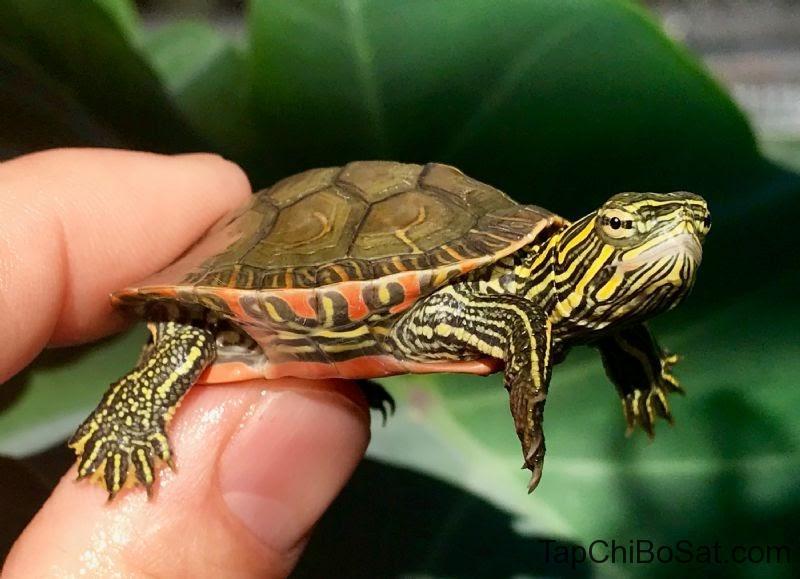 Rùa Vẽ Tây Mỹ baby