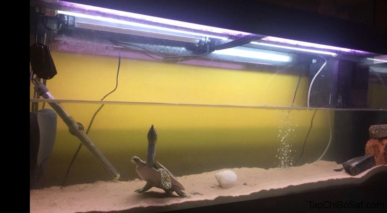 Bể nuôi rùa mai mềm