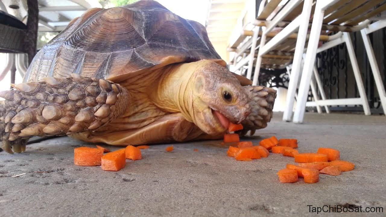 đau mắt đỏ ở rùa
