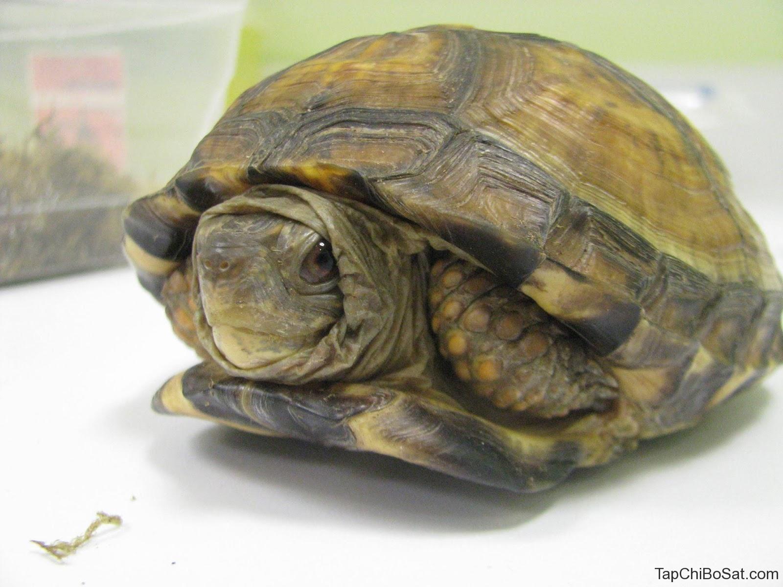 rùa bị chuyển hoá xương