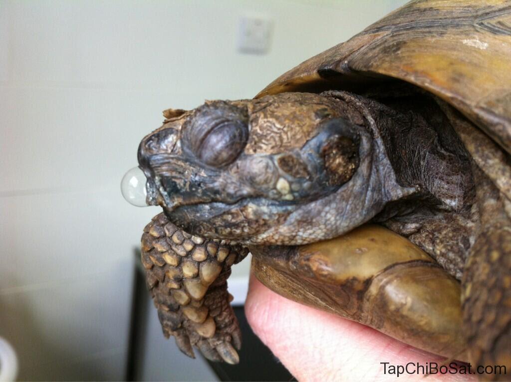 Nhiễm trùng đường hô hấp ở rùa