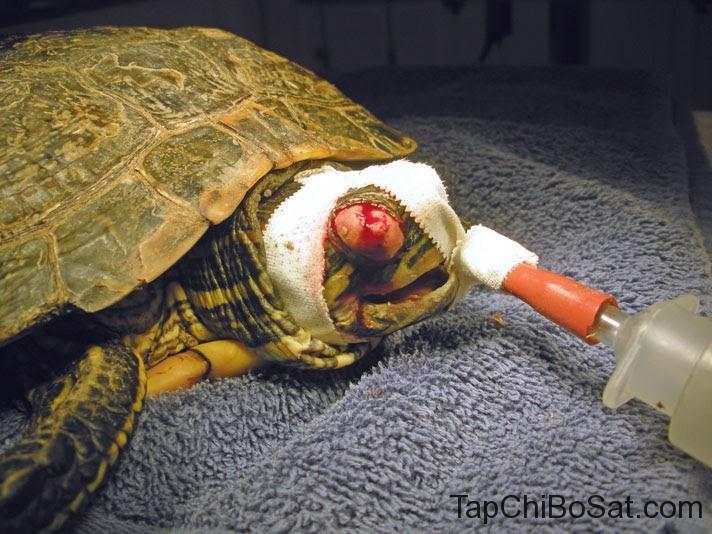 Mắt đẫm máu ở rùa