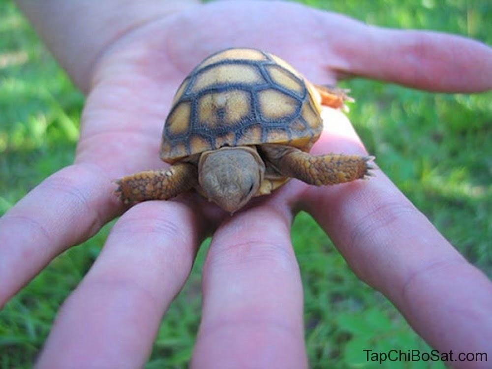Rùa Đất Gopher baby- Gopher Tortoise