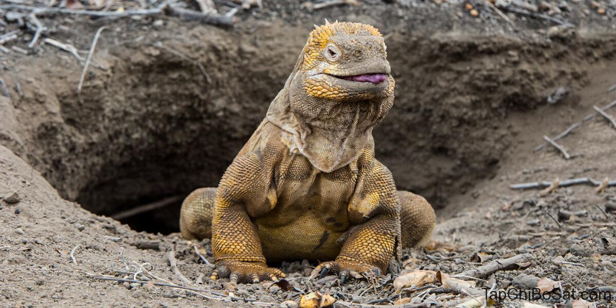 cự đà đất Galapagos