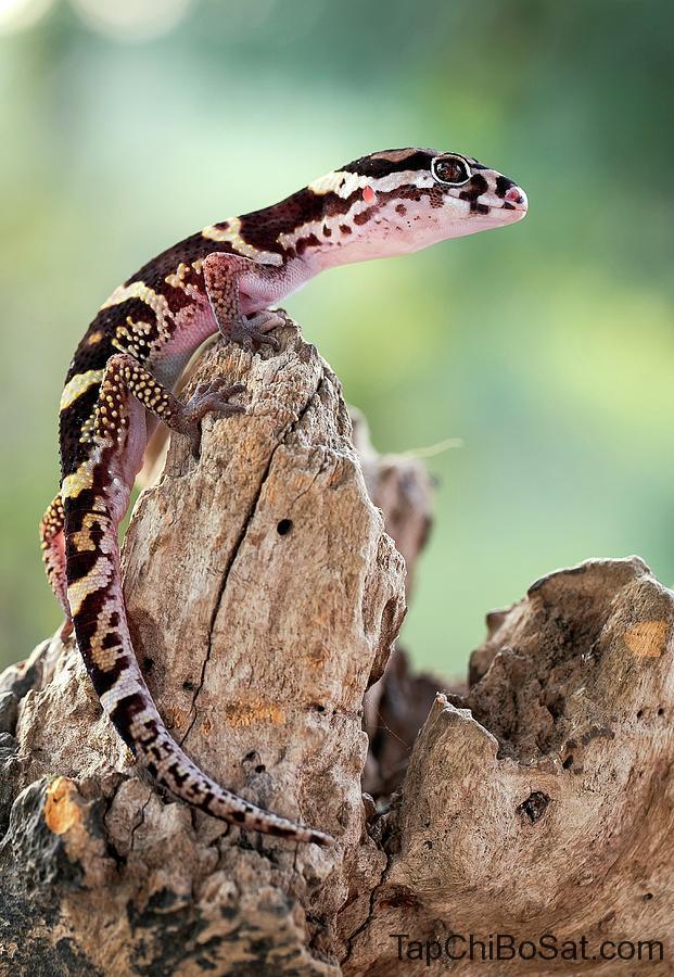 Tắc kè vằn Trung Mỹ - Central American Banded Gecko