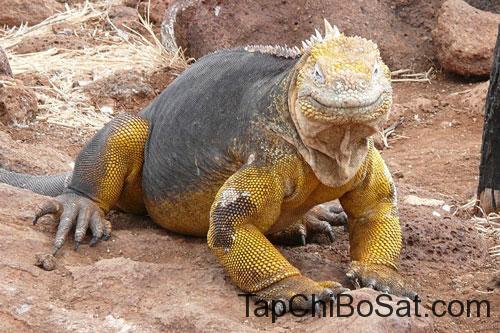 top 10 loai than lan dep nhat hanh tinh-Kỳ nhông đất Galapagos.