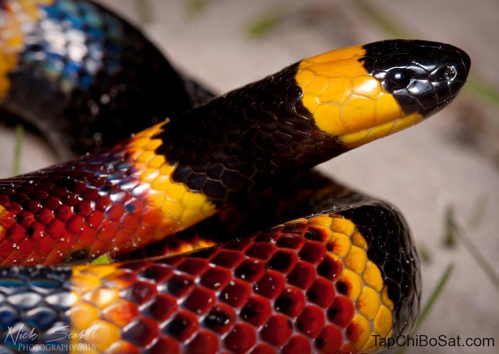 rắn san hô