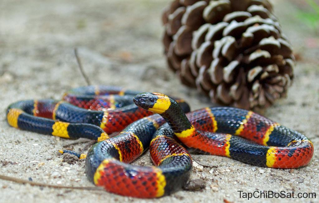 """Image result for Eastern Coral Snake"""""""