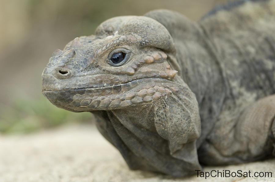 Image result for rhinoceros iguana