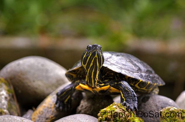 """Image result for eastern painted turtle"""""""