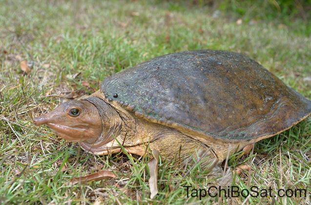 Rùa Vỏ Mềm Florida