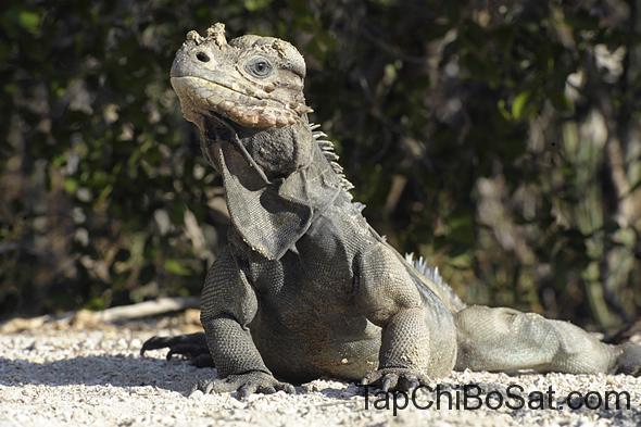 Cự đà tê giác - Rhinoceros iguana