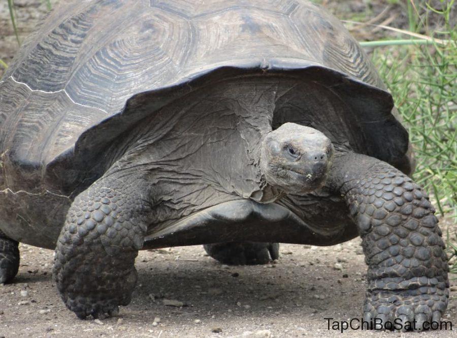 tortoise at galapagos